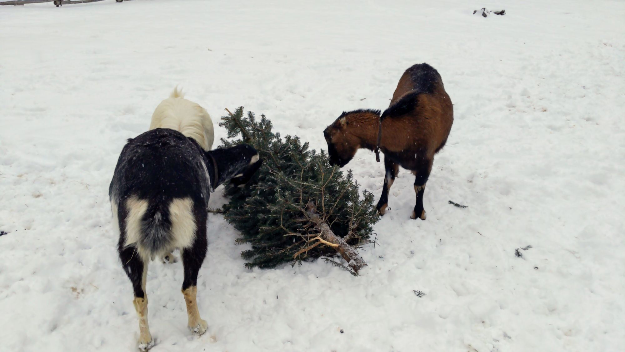 Of goats and conifers